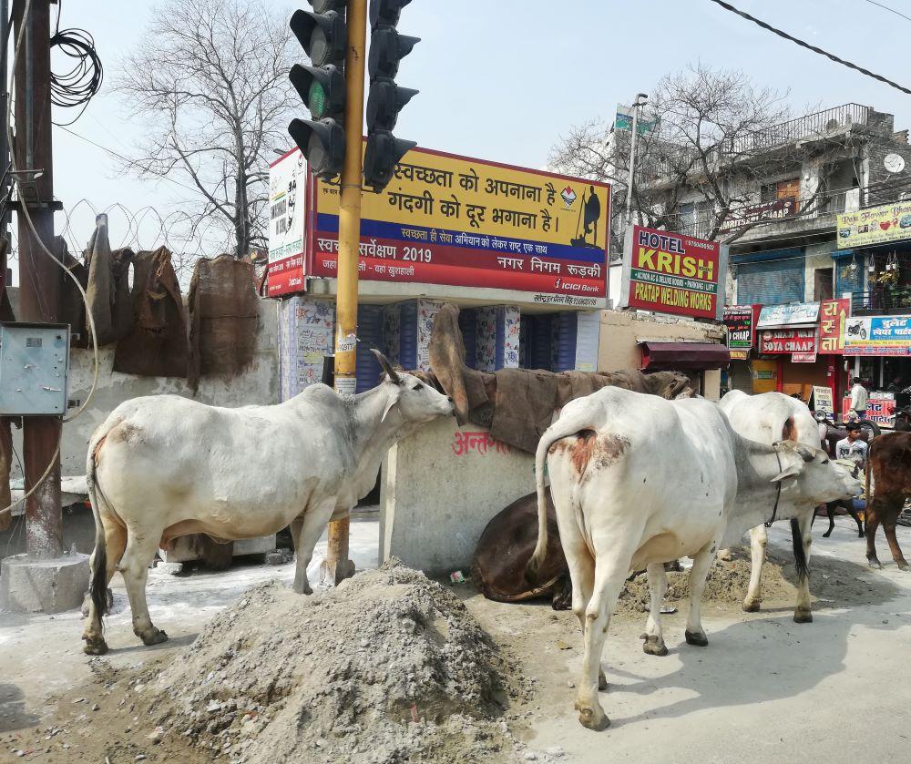 Warum Sind Kühe In Indien Heilig